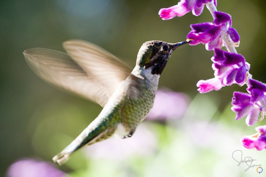 Humming Bird and All Purple